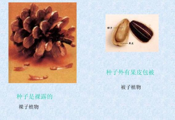 什么是被子植物它有哪些特征 与裸子植物有什么区别