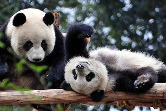 大熊猫的特点与简介,大熊猫吃人吗?
