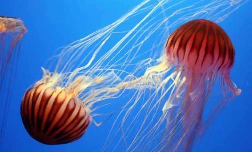 水母能吃吗?水母是否有毒?
