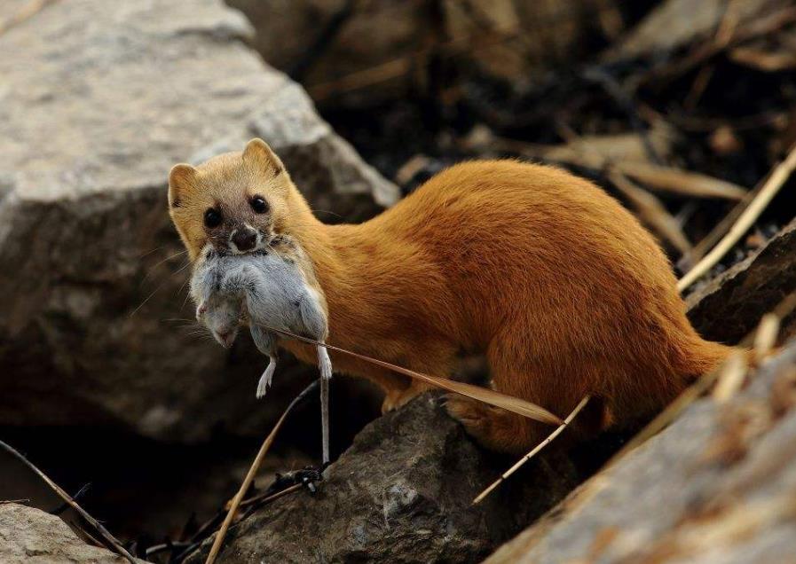 黄鼠狼怕什么动物和声音?怎样能有效预防驱赶黄鼠狼?