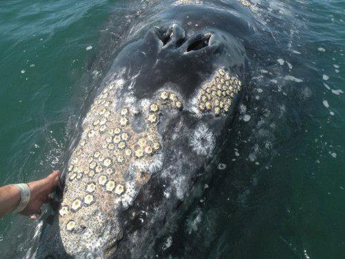 鲸虱是如何寄生在鲸鱼身上的?鲸虱能吃吗?