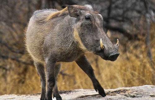 非洲疣猪能被驯服吗?非洲疣猪可以吃吗?