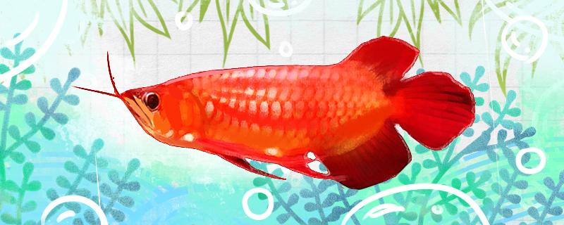 红底红龙鱼好养吗,怎么养