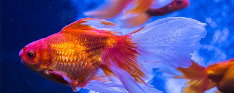 金鱼为什么会褪色,如何防止金鱼褪色
