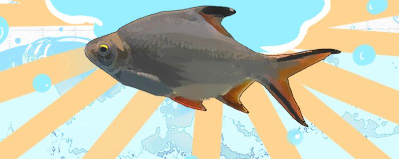 双线鱼是热带鱼吗,水温最低多少度