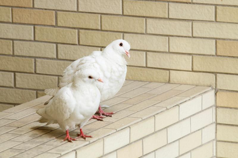 鸽子下蛋多久下第二个