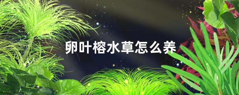 卵叶榕水草好养吗,怎么养