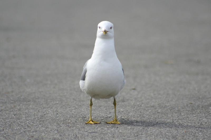 鹧鸪是鸽子吗