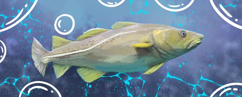 鳕鱼是海鱼吗,刺多不多