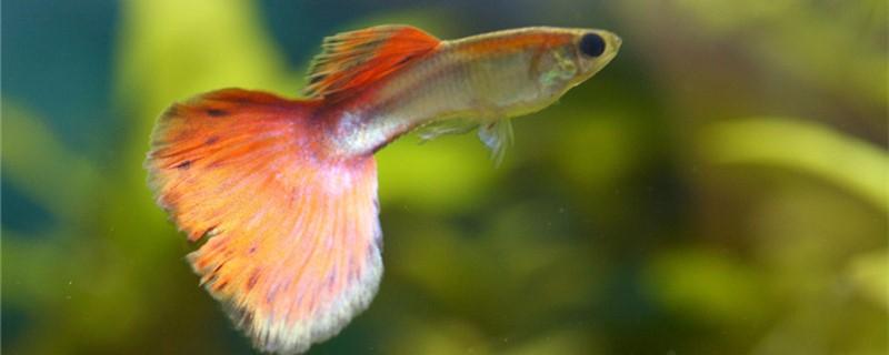 孔雀鱼吃蚊子幼虫吗,吃鱼缸中的绿苔吗
