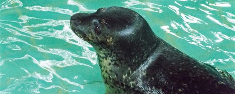 海豹有耳朵吗,内耳会进水吗