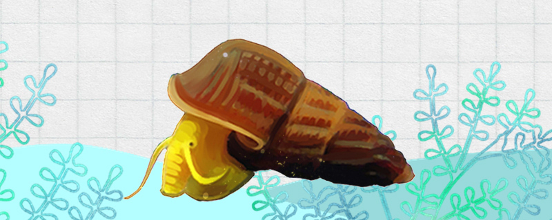 苏拉威西螺吃什么,多久喂一次