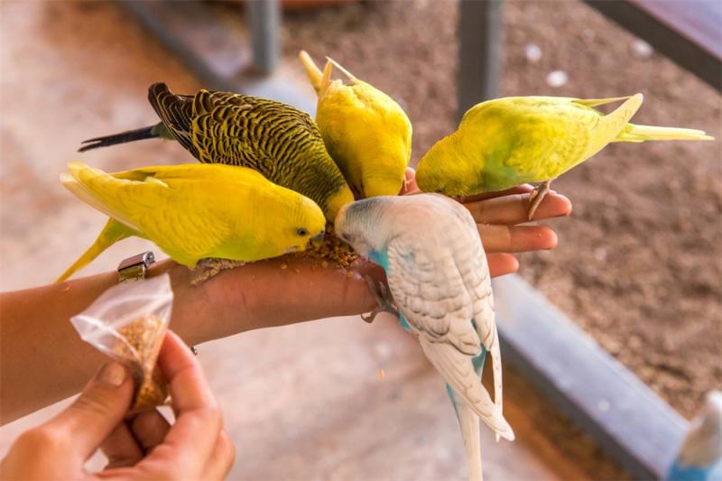 鹦鹉能听懂人话吗