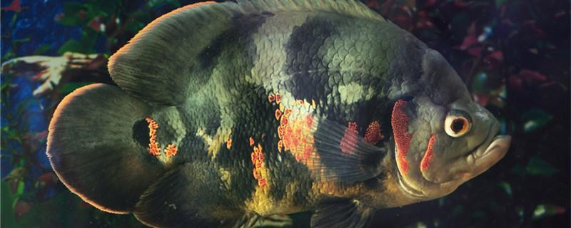 地图鱼需要水族灯吗,用什么颜色的灯光好