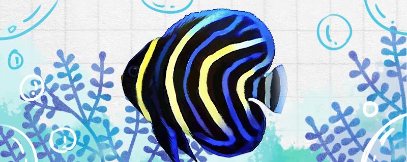 金圈神仙鱼好养吗,怎么养