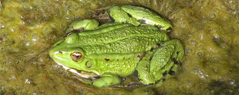 青蛙能跳多高,能跳到二楼吗