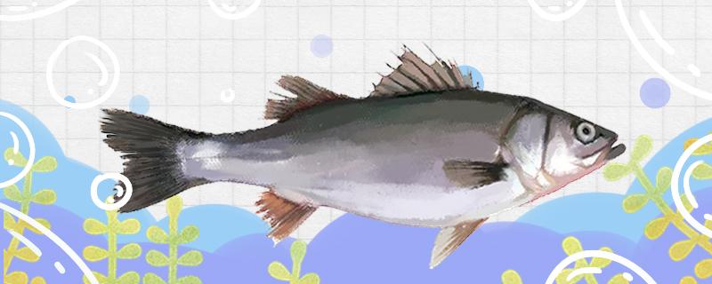 鲈鱼是什么鱼,属于海水鱼吗
