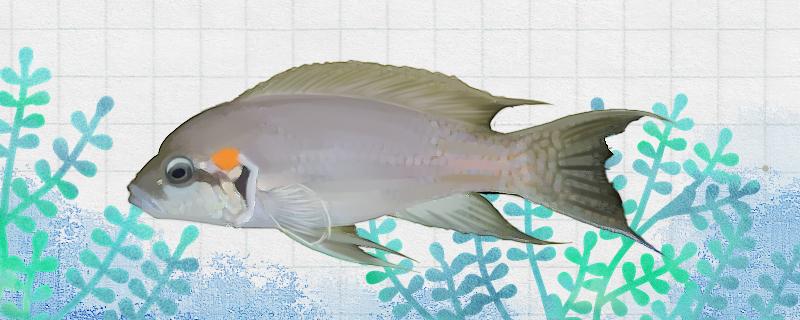 白边燕尾鱼好养吗,怎么养