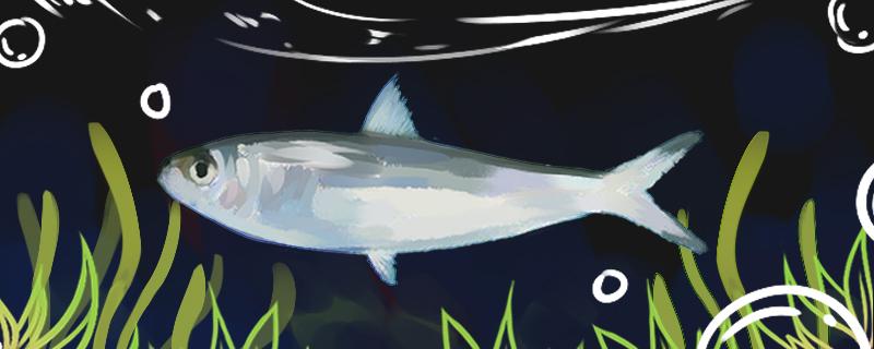 沙丁鱼是海鱼还是河鱼,能在河里养吗