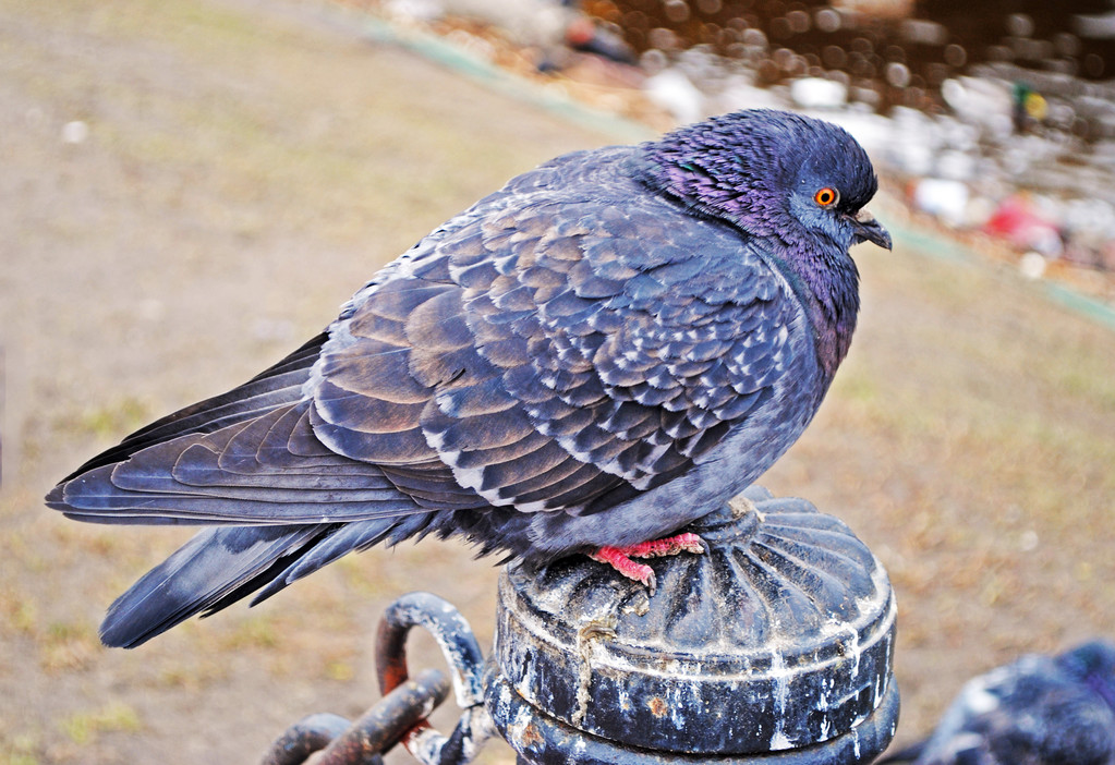 鸽子冬天可以在室外养吗