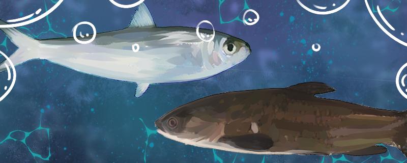 沙丁鱼和青鱼是同一种鱼吗,有什么区别
