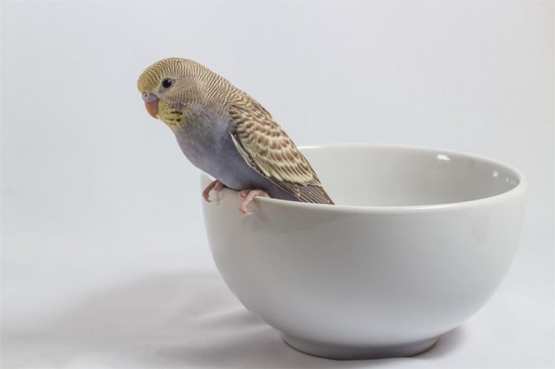 鹦鹉出生后如何喂养