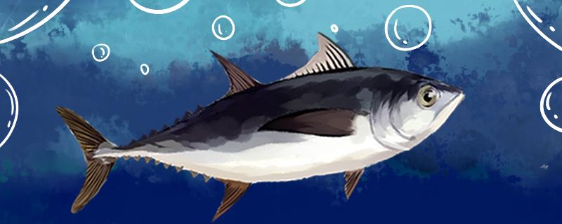 金枪鱼一直在游泳吗,睡觉时也会游泳吗