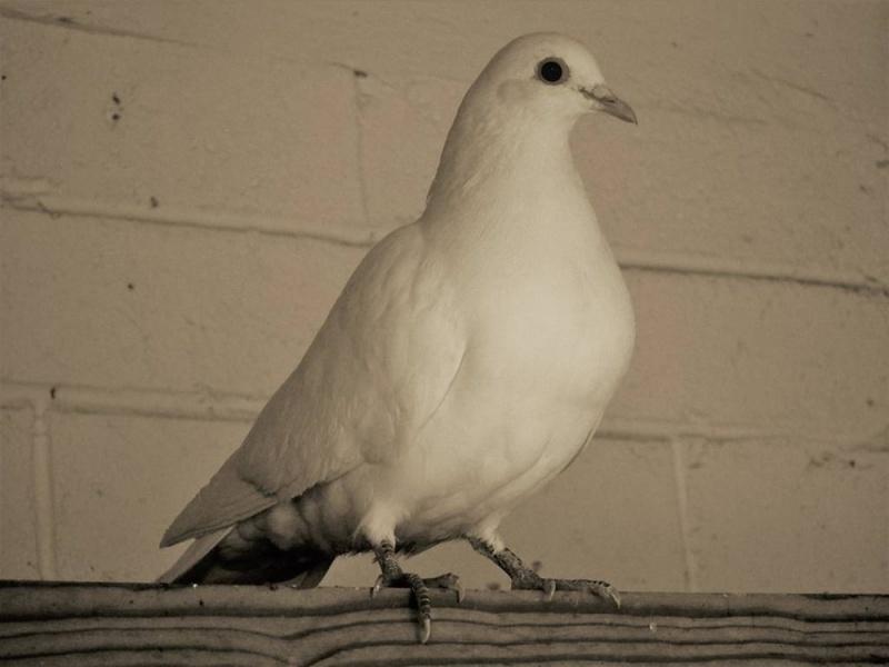 鸽子要养多久才认主人