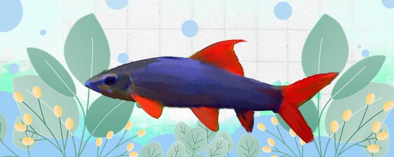 彩虹鲨鱼能和什么鱼混养,能和斑马鱼混养吗