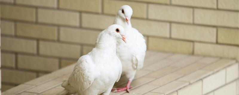 鸽子换毛要多久