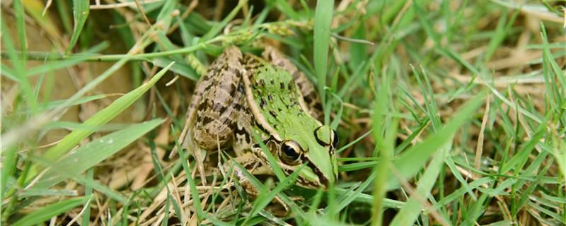 青蛙会挖洞吗,什么时候挖洞