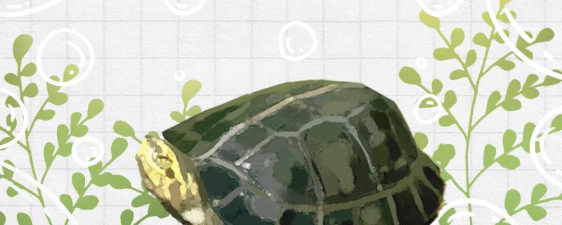 黄头庙龟寿命有多长,能长到多大