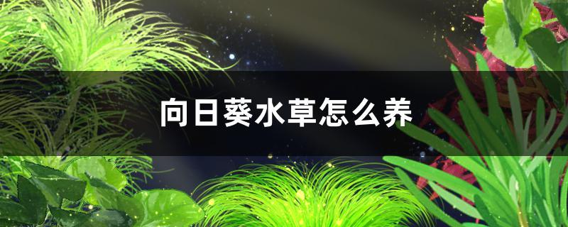 向日葵水草好养吗,怎么养