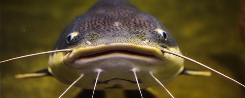 鲶鱼刺多吗,和草鱼比哪个刺少