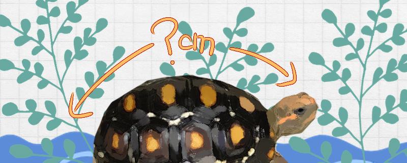 红腿象龟可以长多大,能活多少年