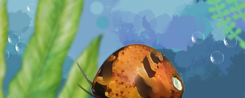 什么螺不吃水草不爆缸,草缸适合养什么螺