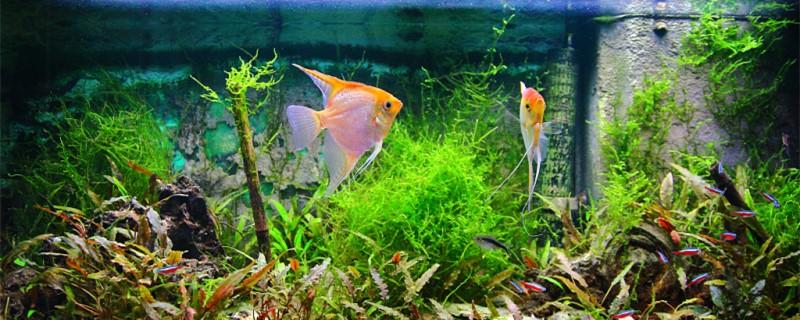 神仙鱼是淡水鱼吗,能用海水养吗
