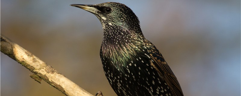 八哥鸟几月份有幼鸟