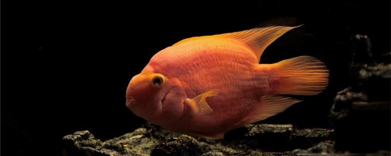 鹦鹉鱼吃上浮鱼食吗,怎样培养鹦鹉鱼吃上浮食
