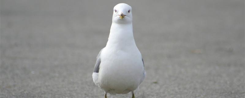 鸽子最少养几只才会恋家