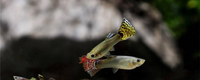 孔雀鱼不繁殖是怎么回事,怎么促进孔雀鱼繁殖