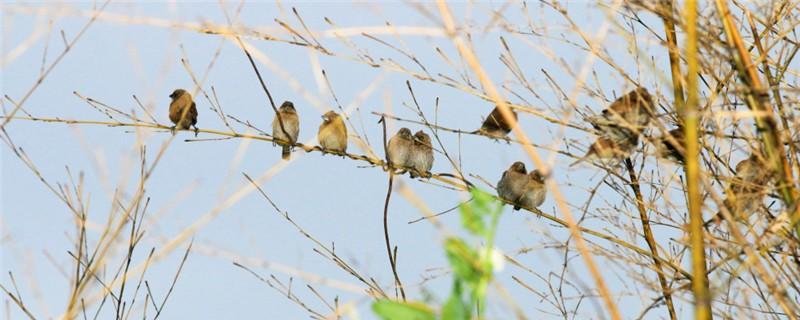 麻雀一年能繁殖几窝