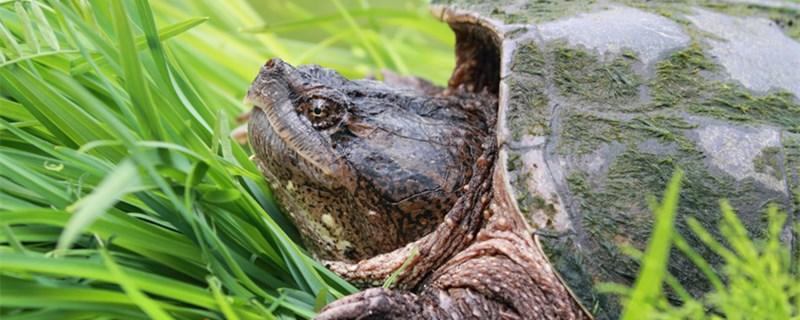 乌龟多久生一次蛋,乌龟怎么繁殖