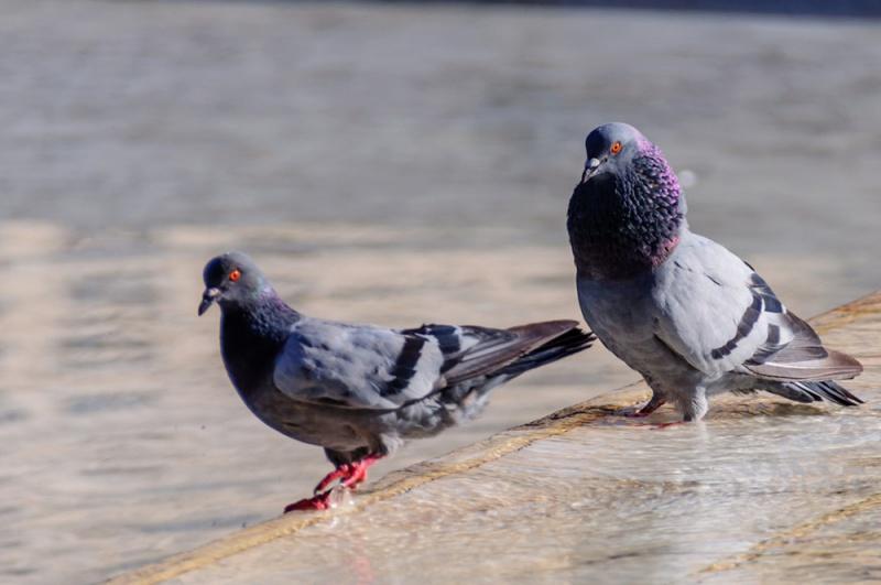 鸽子是什么颜色的