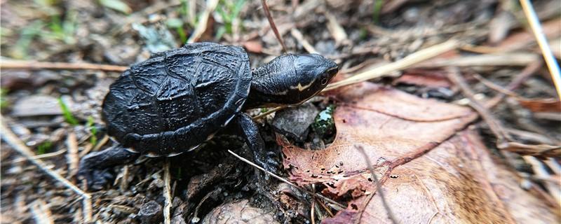 小乌龟不爱动怎么回事,为什么不爱动