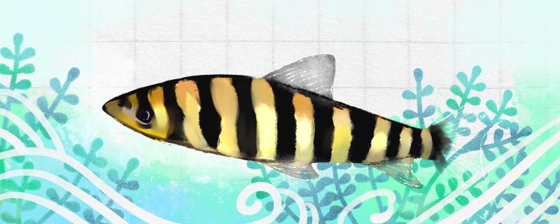 黑带鱼好养吗,怎么养