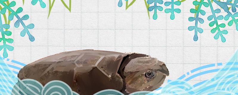 缅甸平胸龟好养吗,怎么养