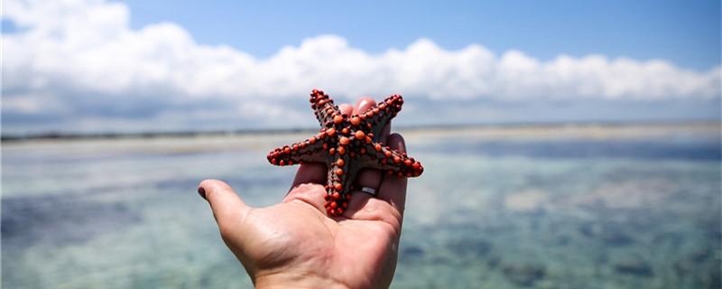 海星如何繁殖,什么时候繁殖