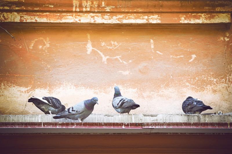 鸽子认识主人要多久