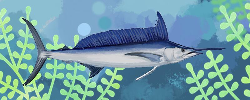 马林鱼和旗鱼是同一种鱼吗,有什么区别